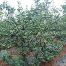 2020年山東李子苗成熟季節琥珀李李子苗多錢一棵圖片