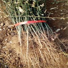 直徑0.5嫁接占木枳基地報價大葉枳殼苗批發價格圖片