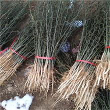 一年生40公分以上枳殼苗成熟季節枳殼兩年苗現貨供應圖片