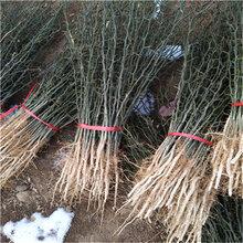 一年生40公分以上枳殼苗成熟季節枳殼兩年苗現貨供應