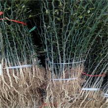 直徑0.5嫁接占木枳品種特色枳殼小苗苗場電話圖片