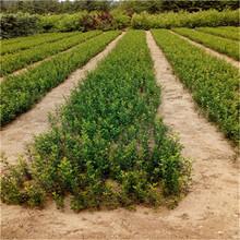 一年生40公分以上枳殼苗成熟季節枳殼新種子批發多錢圖片
