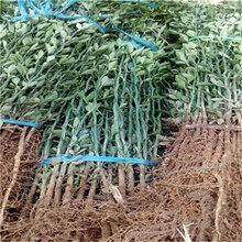 一年生40公分以上枳殼苗成熟季節0.6大小的枳殼苗批發多錢