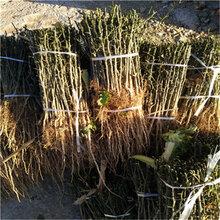 山東枳殼苗基地成熟季節枳殼種子批發價格