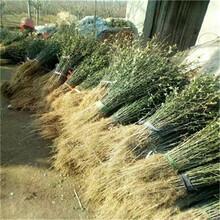 一年生40公分以上枳殼苗價格及報價嫁接占木枳殼苗批發價格圖片