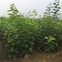 2020年山東柿子苗種植技術寶蓋甜柿種植技術圖片