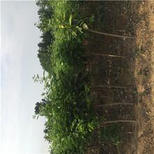 兩年生柿子苗價格及報價日本甜柿苗價格及報價圖片
