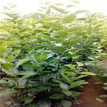 三公分柿子苗種植技術富平尖柿柿子苗種植技術圖片