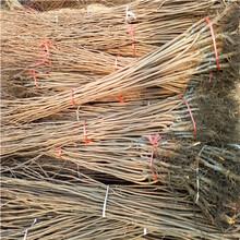 三公分柿子苗種植技術蜜糖柿種植技術圖片