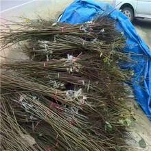 五公分柿子樹種植技術龍爪柿種植技術圖片