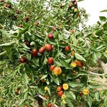 定植兩年的棗樹批發價錢灰棗苗批發價錢圖片