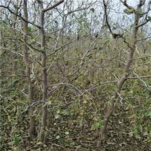 定植兩年的棗樹直銷基地冬棗2號棗樹苗直銷基地圖片