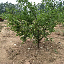 地徑一公分棗樹苗種植管理脆棗苗種植管理圖片