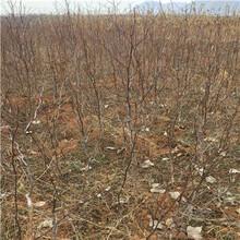 地徑一公分棗樹苗報價更新沾化冬棗苗報價更新圖片