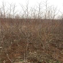 定植兩年的棗樹報價更新棗樹實生苗報價更新圖片