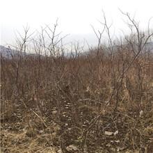地徑一公分棗樹苗直銷基地紅棗樹苗直銷基地圖片