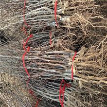 定植兩年的棗樹批發價錢龍須棗棗樹苗批發價錢圖片