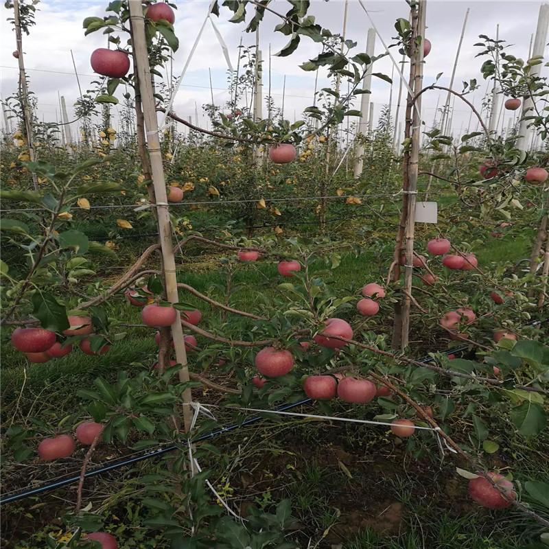 中間砧矮化蘋果苗價格及報價 柱狀蘋果苗價格及報價