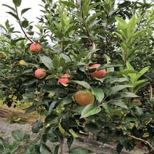 定植兩年的蘋果樹批發基地紅肉蘋果苗批發基地圖片