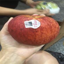 新品種蘋果苗批發價格神富1號蘋果苗苗場電話圖片