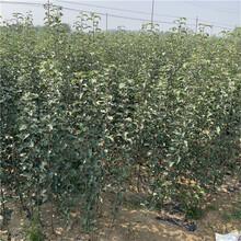 新品種蘋果苗成熟季節華碩蘋果苗現貨供應圖片