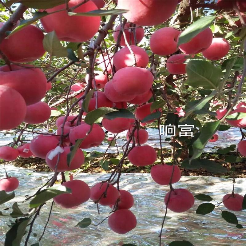 三公分蘋果樹種植時間好 煙富6蘋果苗價格及報價