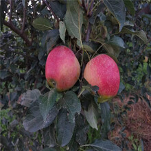 新品種蘋果苗一棵價錢信濃紅蘋果苗批發基地圖片