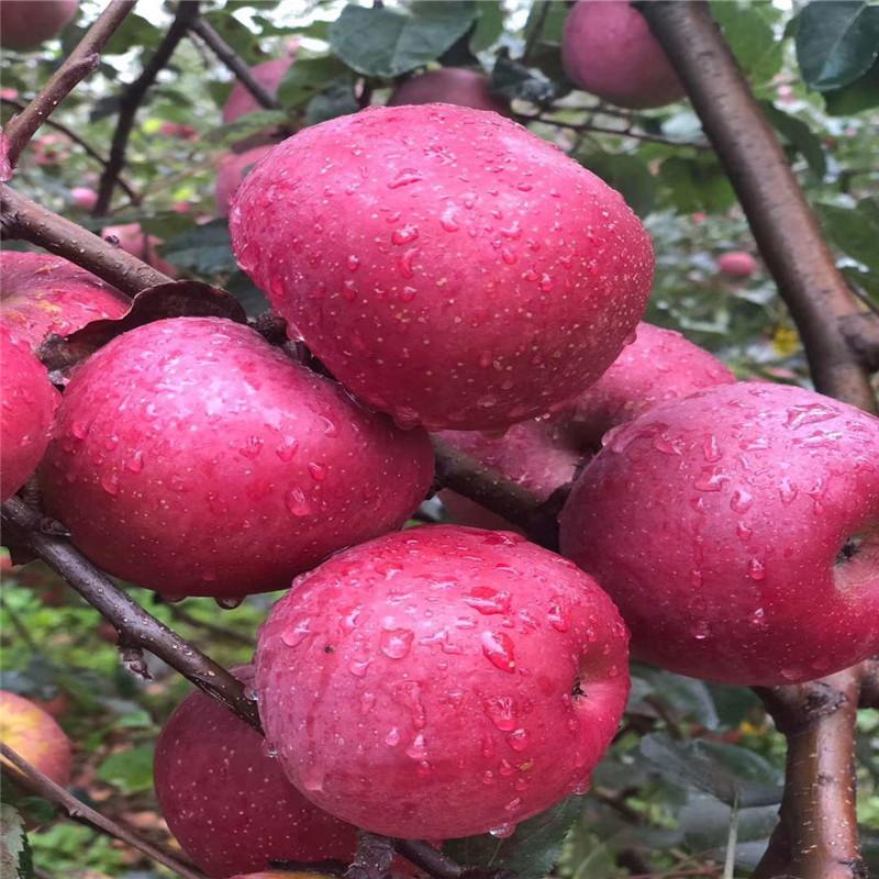 三公分蘋果樹品種特色介紹 藤木1號蘋果苗多錢一棵