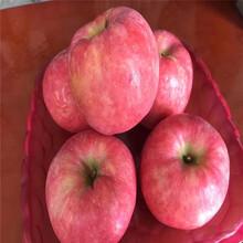 m26矮化蘋果苗行情報價華碩蘋果苗行情報價圖片