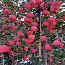 m26矮化蘋果苗種植時間紅富士蘋果苗苗場電話圖片