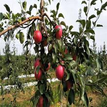定植兩年的蘋果樹品種特色介紹紅將軍蘋果苗價格及報價圖片