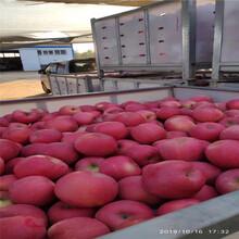 三公分蘋果樹品種特色介紹信濃紅蘋果苗出售電話圖片