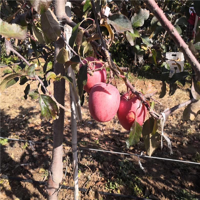 中間砧矮化蘋果苗苗場電話 矮化蘋果苗苗場電話
