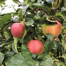 五公分大蘋果樹一棵價錢紅將軍蘋果苗一棵價錢圖片