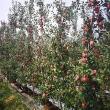 定植兩年的蘋果樹種植技術瑞香紅蘋果苗一棵價錢圖片