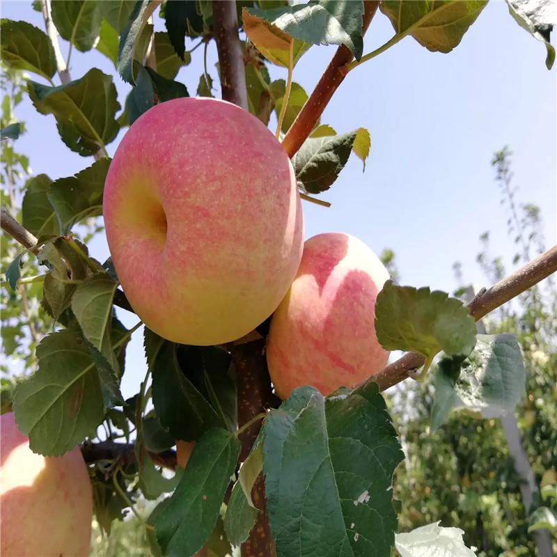 中間砧矮化蘋果苗種植時間好 柱狀蘋果苗苗場電話