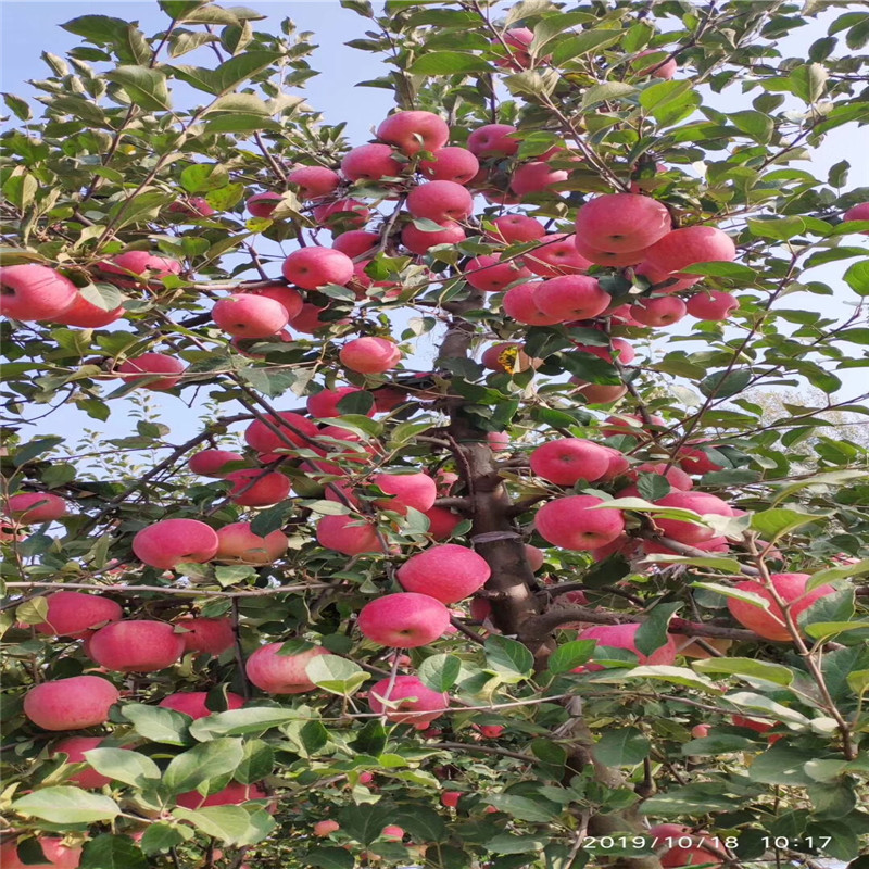 兩年生蘋果苗種植技術 黃元帥蘋果苗批發基地