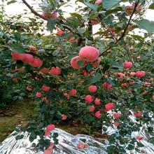 地徑一公分蘋果苗基地報價紅肉蘋果苗價格及報價圖片
