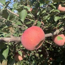 m26矮化蘋果苗種植時間好藤木1號蘋果苗多錢一棵圖片