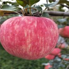 地徑一公分蘋果苗種植技術新紅星蘋果苗批發價格圖片