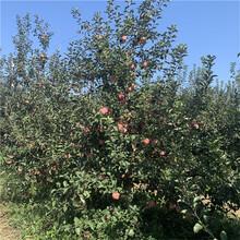 m26矮化蘋果苗苗場電話紅富士蘋果苗一棵價錢圖片