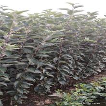 地徑一公分蘋果苗種植技術眾成3號蘋果苗批發基地圖片