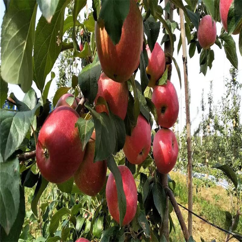三公分蘋果樹品種特色介紹 瑞雪蘋果苗價格及報價
