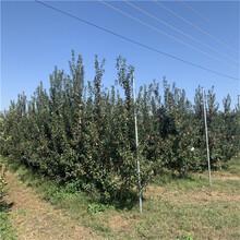 新品種蘋果苗種植技術藤木1號蘋果苗苗場電話圖片