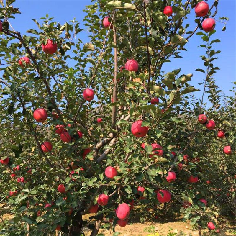 m26矮化蘋果苗批發價格 瑞陽蘋果苗苗場電話