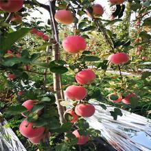 中間砧矮化蘋果苗成熟季節紅蛇果蘋果苗批發基地圖片