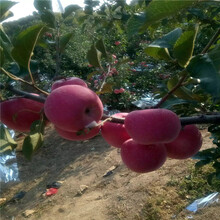2020年山東蘋果苗批發價格煙富6蘋果苗苗場電話圖片