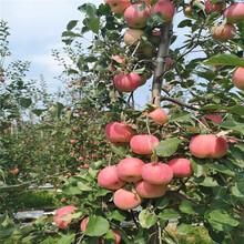地徑一公分蘋果苗成熟季節矮化蘋果苗批發價格圖片