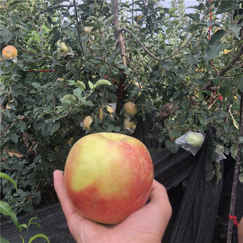 三公分蘋果樹苗場電話 紅富士蘋果苗價格及報價