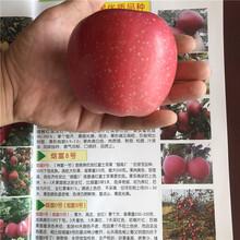 兩年生蘋果苗品種特色介紹美國8號蘋果苗批發基地圖片